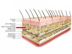 חלוקת השומן באזור הכרס בבטן